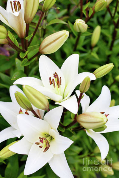 Wall Art - Photograph - White Lilies by Kati Finell