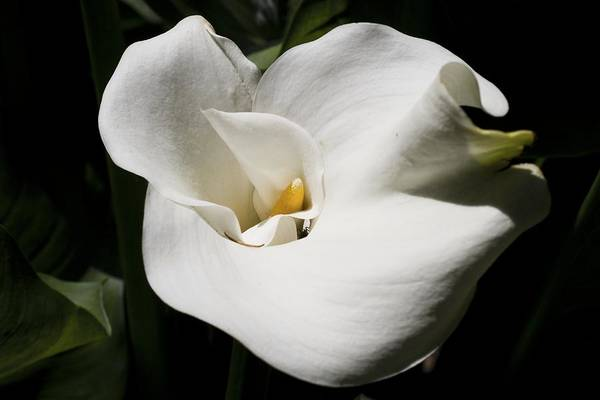 Photograph - White Lily by Brad Granger