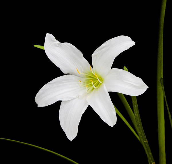 Photograph - White Lily Flower by Ken Barrett