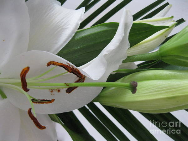 Painting - White Lily by Oksana Semenchenko