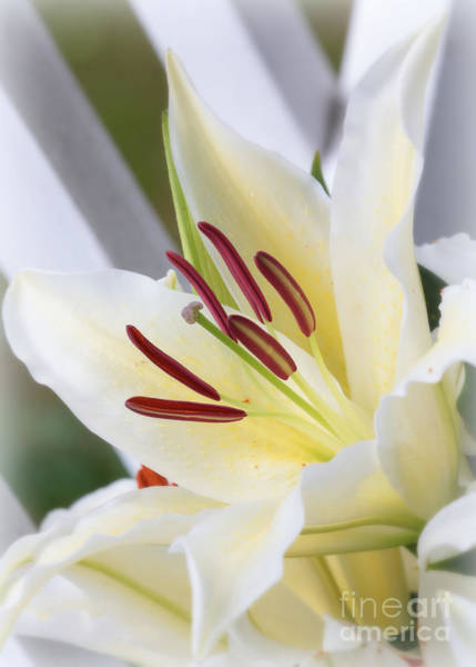 Photograph - White Lily World by Carol Groenen