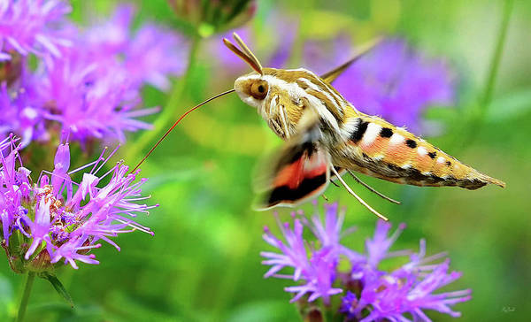 Photograph - White Lined Sphinx Hummingbird Moth by Greg Norrell