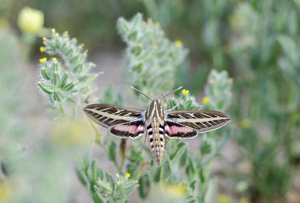 Photograph - White Lined Sphinx Moth No.1 by Margaret Pitcher