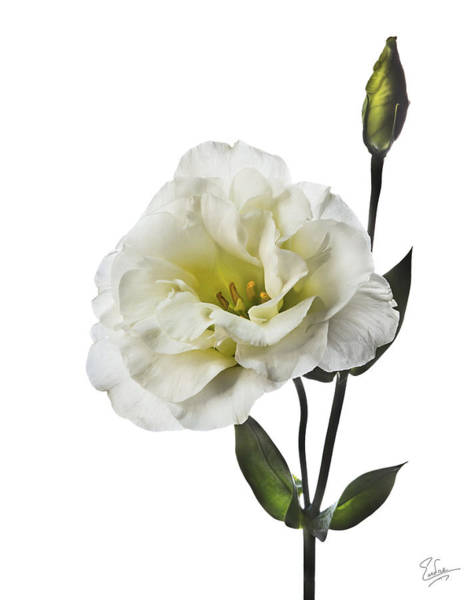 Photograph - White Lisianthus by Endre Balogh