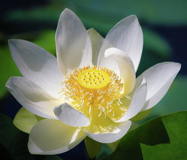 Photograph - White Lotus Bloom by Julie Palencia