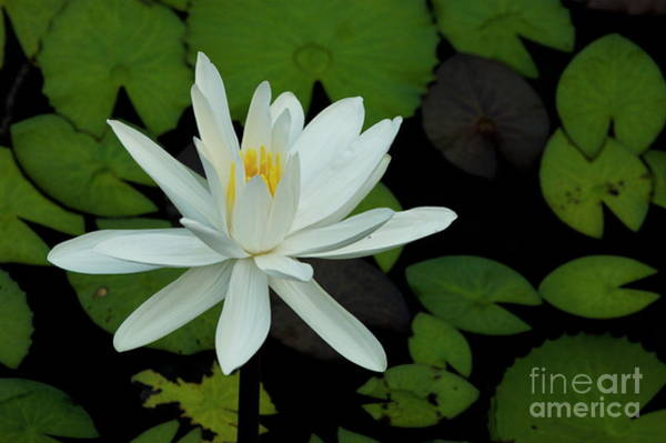 Wall Art - Photograph - White Lotus Flower by Sami Sarkis
