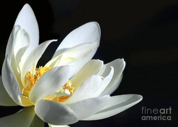 Lotus Seed Wall Art - Photograph - White Lotus by Sabrina L Ryan