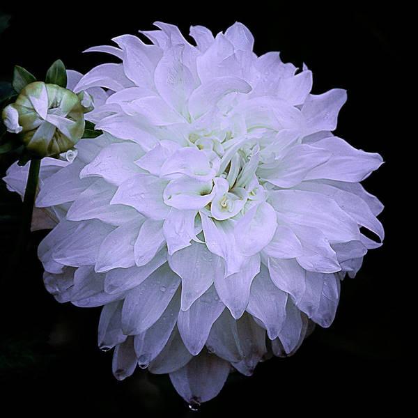 Chicago Botanic Garden Photograph - White Louie Meggos Dahlia by Julie Palencia