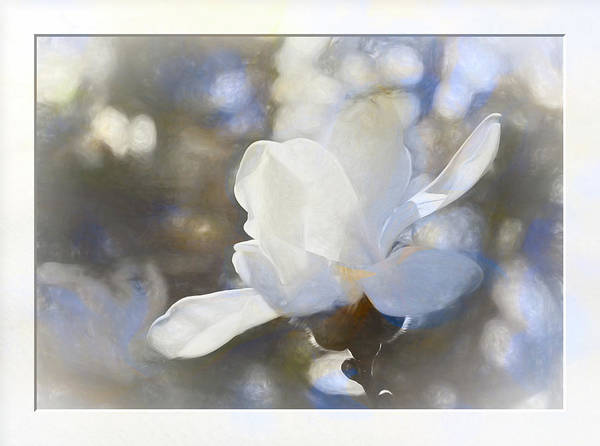 Photograph - White Magnolia Flower Blossom In The Sunlight by Natalie Rotman Cote