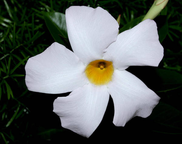 Photograph - White Mandevilla by Robert Morin