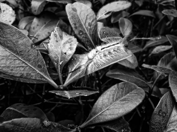 Digital Art - White Marked Tussock Moth Caterpillar by Chris Flees