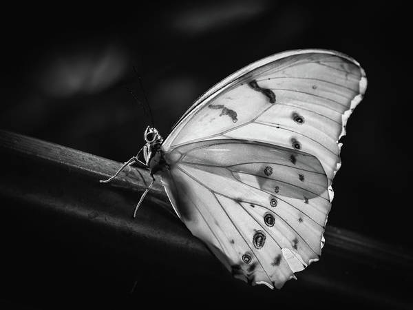 Photograph - White Morpho Black And White by Robin Zygelman
