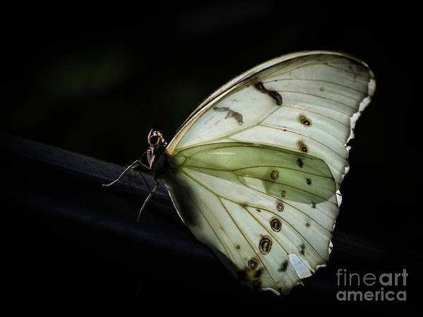 Photograph - White Morpho In The Moonlight by Robin Zygelman