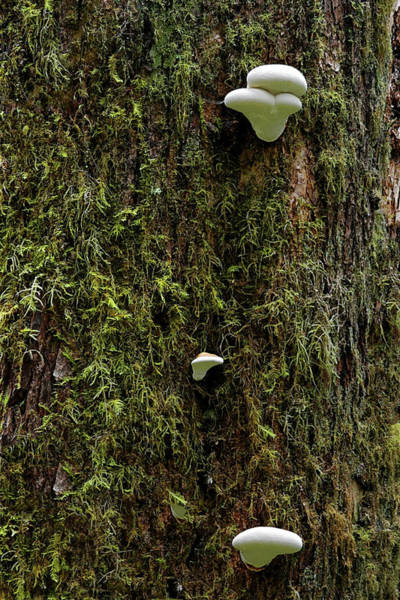 Shrooms Photograph - White Mushrooms - Quinault Temperate Rain Forest - Olympic Peninsula Wa by Christine Till