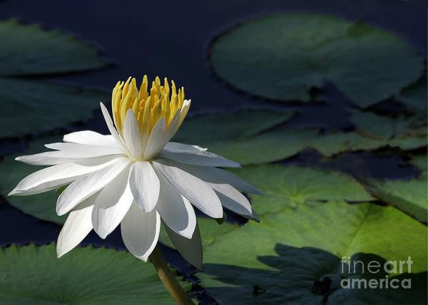 Photograph - White Night Blooming Water Lily by Sabrina L Ryan
