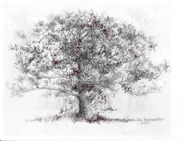 Wall Art - Drawing - White Oak by Jim Hubbard