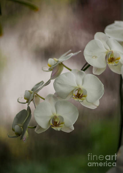 Orchid Photograph - White Of The Evening by Mike Reid