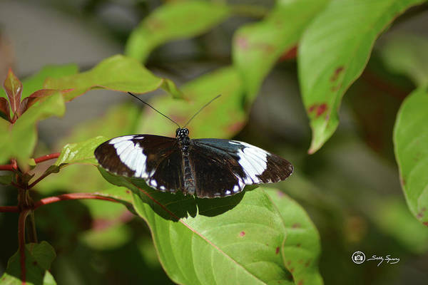 Photograph - White On Black Wings by Sally Sperry