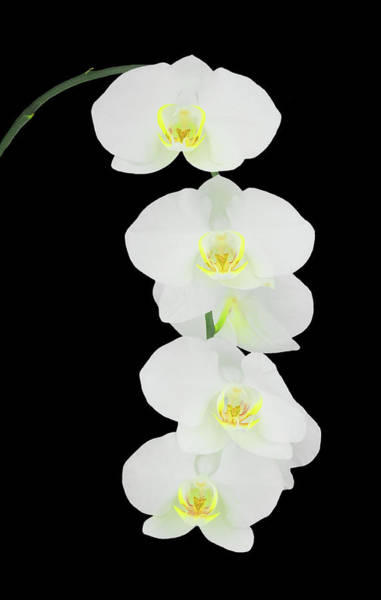Photograph - White Orchid-4791 On Black by Rudy Umans
