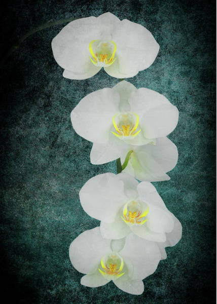 Photograph - White Orchid-4791 On Blue by Rudy Umans