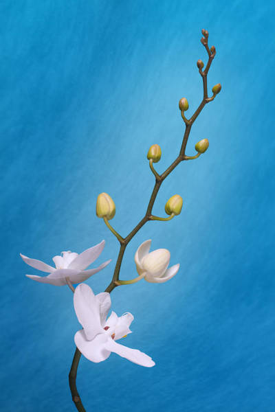 Wall Art - Photograph - White Orchid Buds On Blue by Tom Mc Nemar