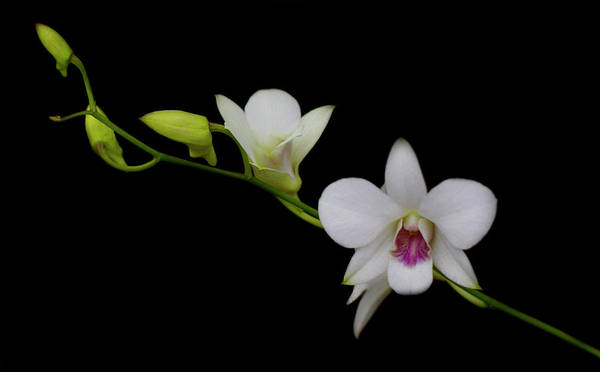 Photograph - White Orchid Dream by Cate Franklyn