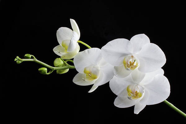 Photograph - White Orchid by Clare Bambers