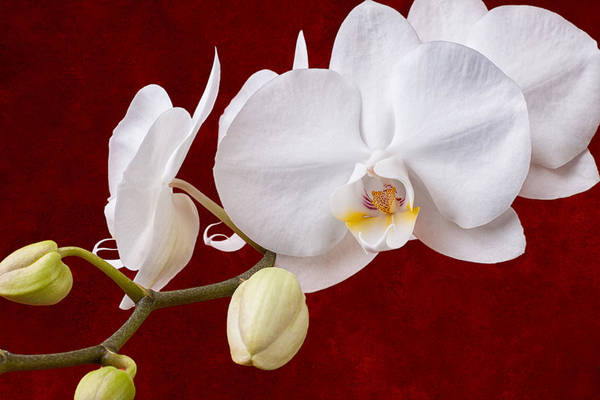 Wall Art - Photograph - White Orchid Closeup by Tom Mc Nemar