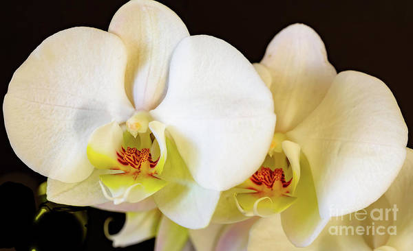 Photograph - White Orchid Flowers by Colin Rayner