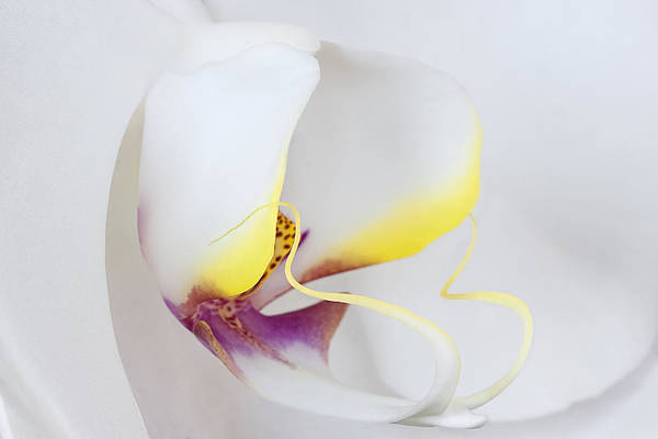 Photograph - White Orchid Macro by Ken Barrett