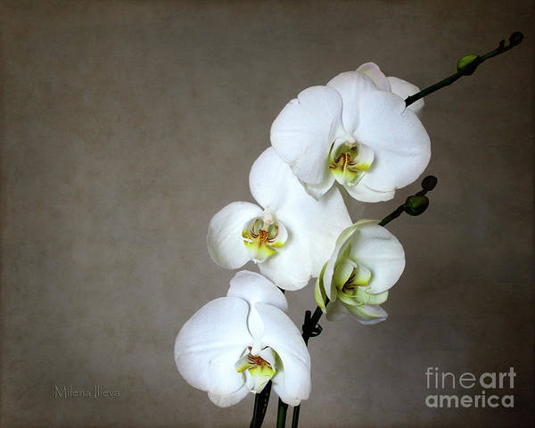 Photograph - White Orchid  by Milena Ilieva