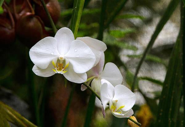 Photograph - White Orchids by Bonnie Follett