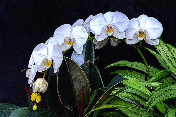 Painting - White Orchids by OLena Art - Lena Owens