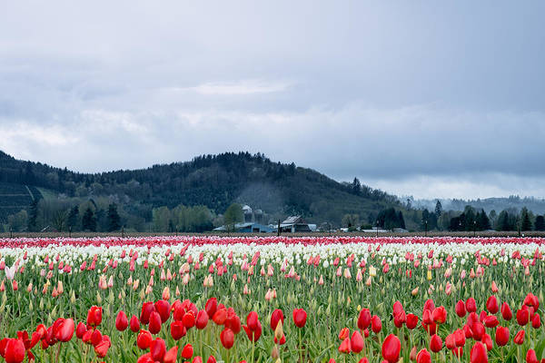 Photograph - White Pass Highway With Tulips by E Faithe Lester