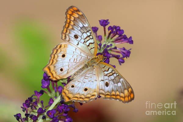 Wall Art - Photograph - White Peacock Butterfly On Purple by Ruth Jolly
