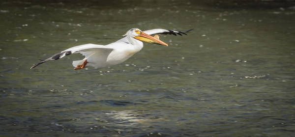 Photograph - White Pelican 1-2015 by Thomas Young
