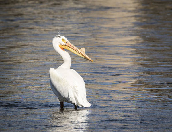Photograph - White Pelican 2-2015 by Thomas Young