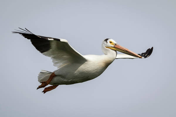Photograph - White Pelican 2016-2 by Thomas Young