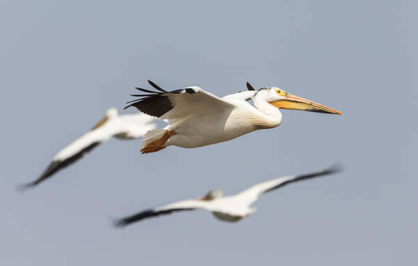 Photograph - White Pelican 6-2015 by Thomas Young