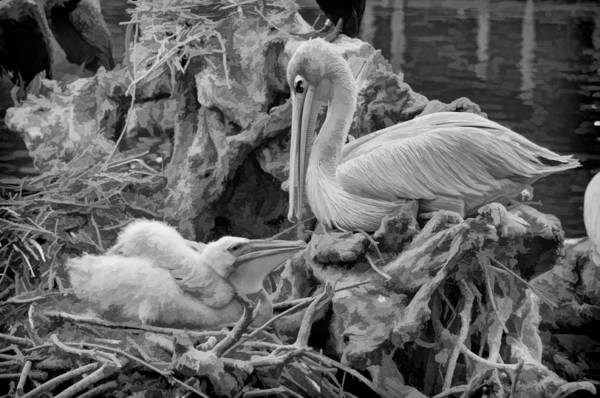 Photograph - White Pelican And Baby by Ginger Wakem