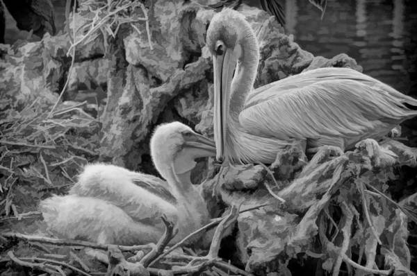 Photograph - White Pelican And Baby In Nest by Ginger Wakem