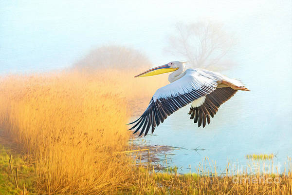 Shorebird Photograph - White Pelican At The Golden Isles by Laura D Young