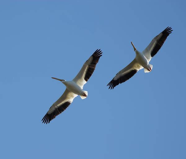 Photograph - White Pelican Couple by Richard Goldman