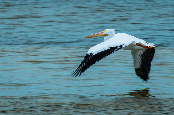 Pelican Island National Wildlife Refuge Wall Art - Photograph - White Pelican Flight 9845 by Ginger Stein