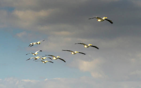 Photograph - White Pelican Formation by Framing Places