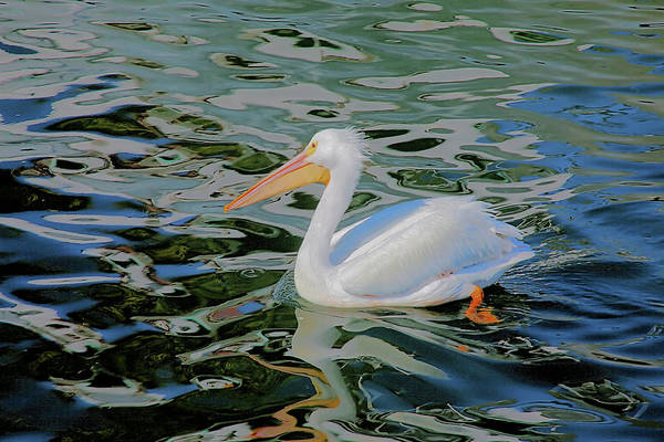 Photograph - White Pelican by Karl Ford