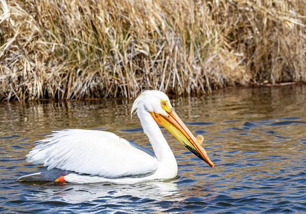 Photograph - White Pelican by Michael Chatt