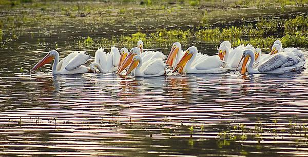 White Pelican Parade Art Print