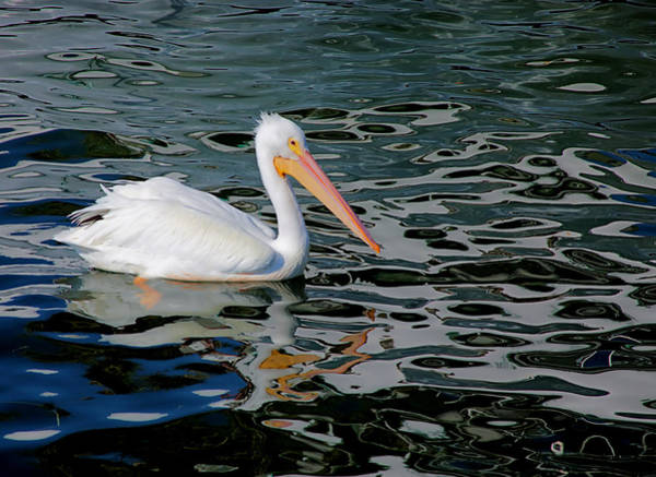 Photograph - White Pelican, Too by Karl Ford