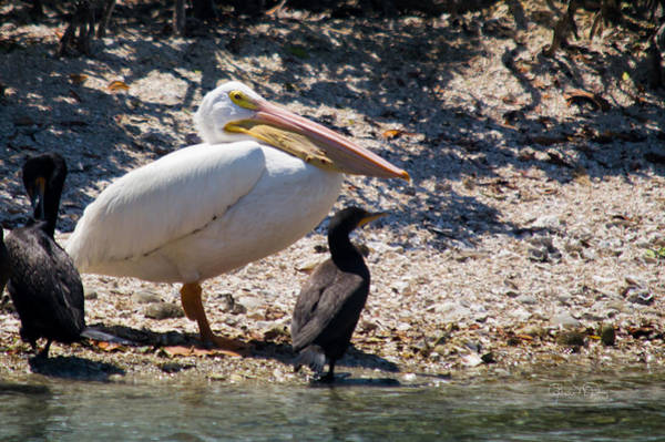 Photograph - White Pelican With Cormorants by Susan Molnar